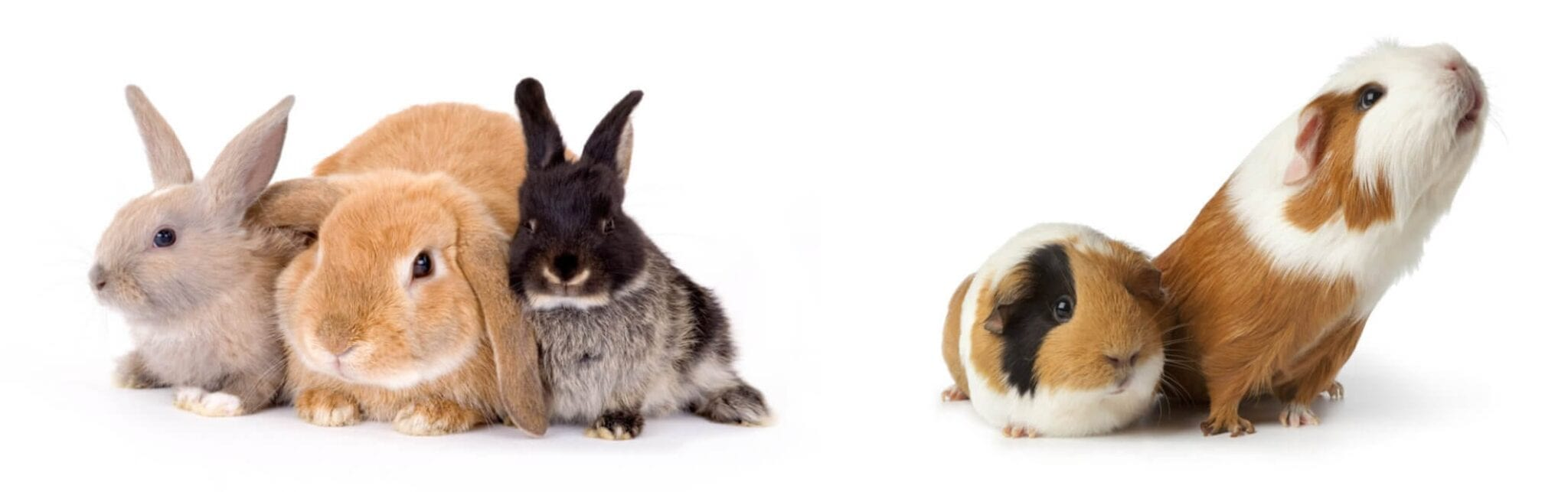 Rabbits and guinea pigs on the Lapin Luxury online pet store homepage